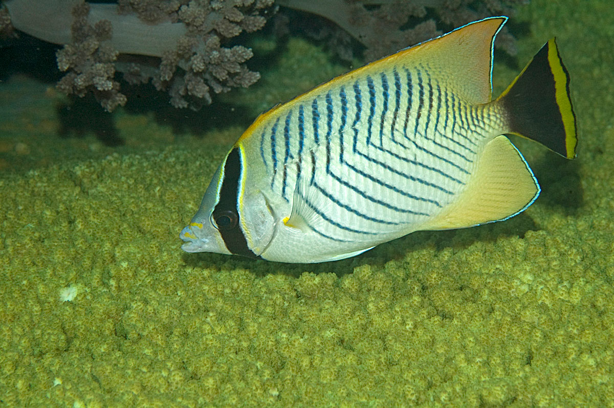 pesci farfalla Chaetodon