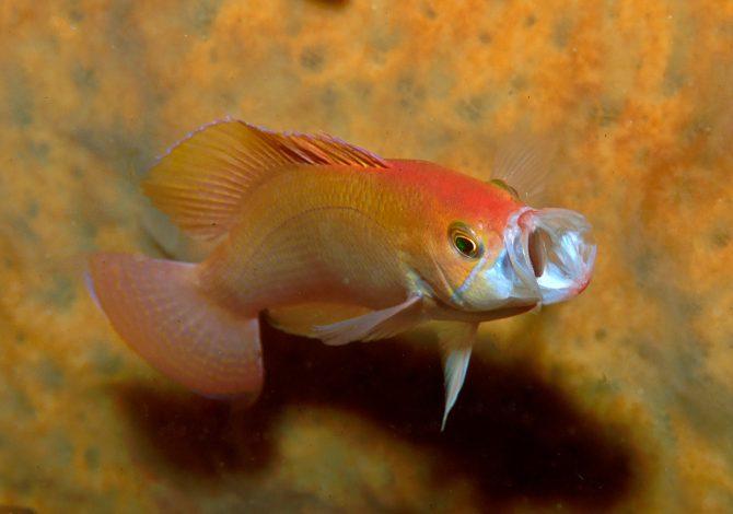 pesci planctivori