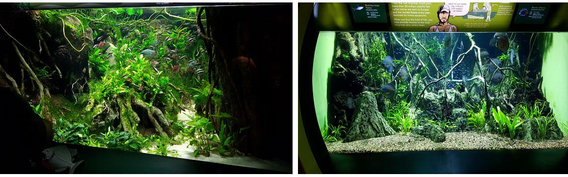le vasche di piranha e discus