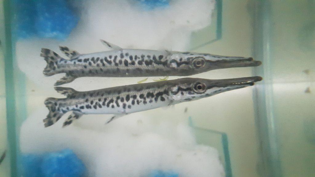 luccio-alligatore-vasca