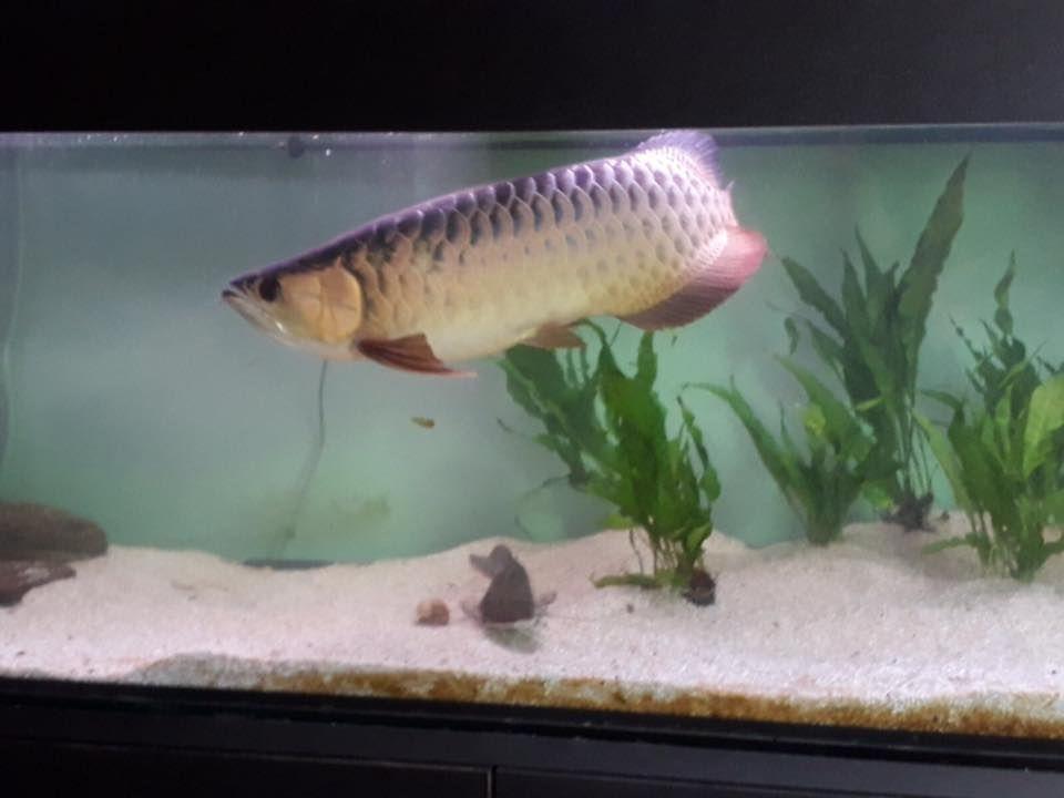 pesce drago 3