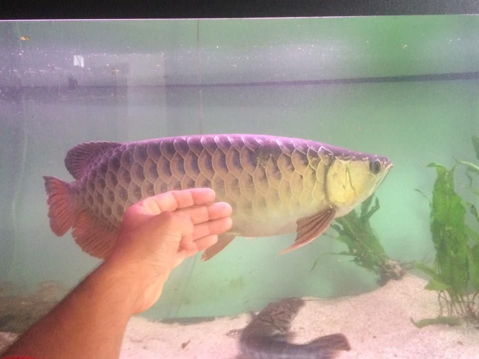 pesce drago 2