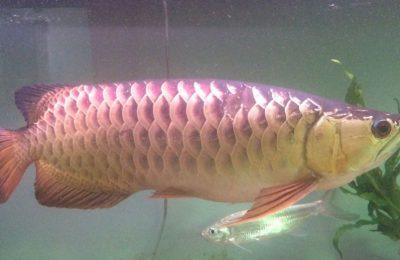 pesce drago