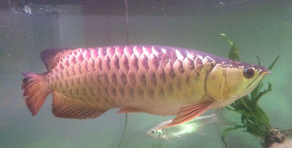 Pesce Drago Scleropages Formosus O Arowana Asiatico Acquaportal