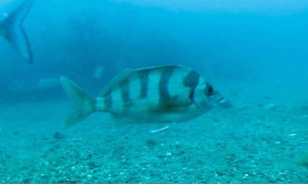 pesce misterioso kapiti 2