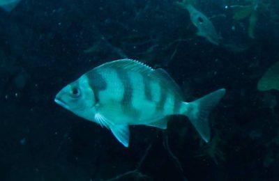 pesce misterioso kapiti