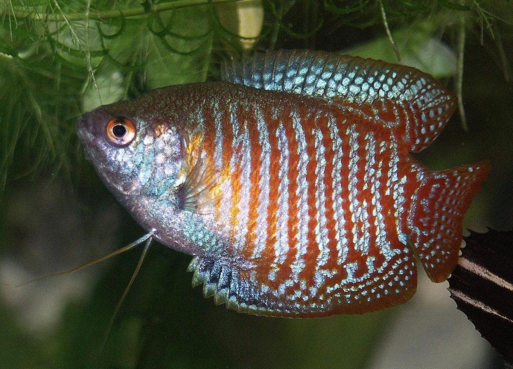 primo acquario gourami nano