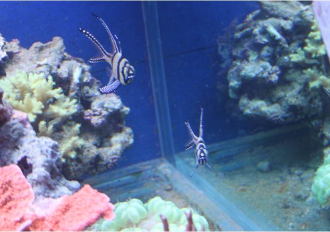 pterapogon kauderni 1