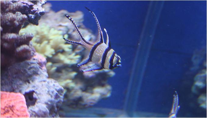 pterapogon kauderni 2