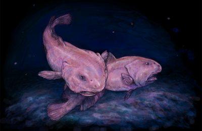 strani pesci blobfish