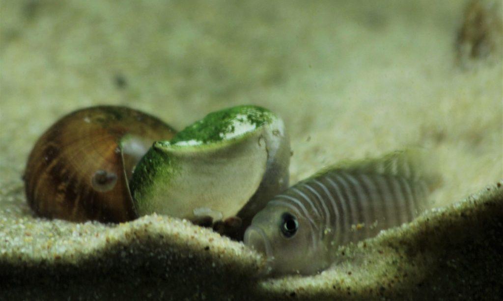 neolamprologus similis 1
