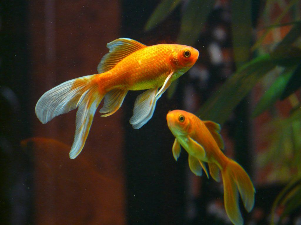 riproduzione pesci rossi