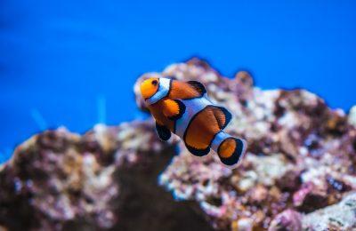 riproduzione pesce pagliaccio