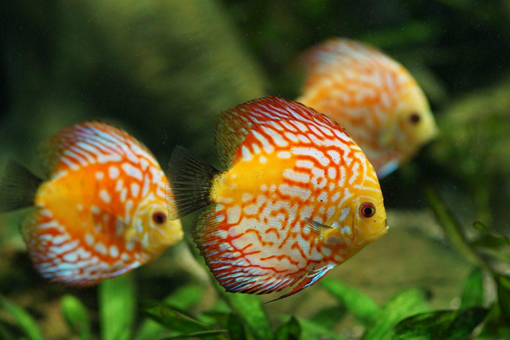acquario per ciclidi discus