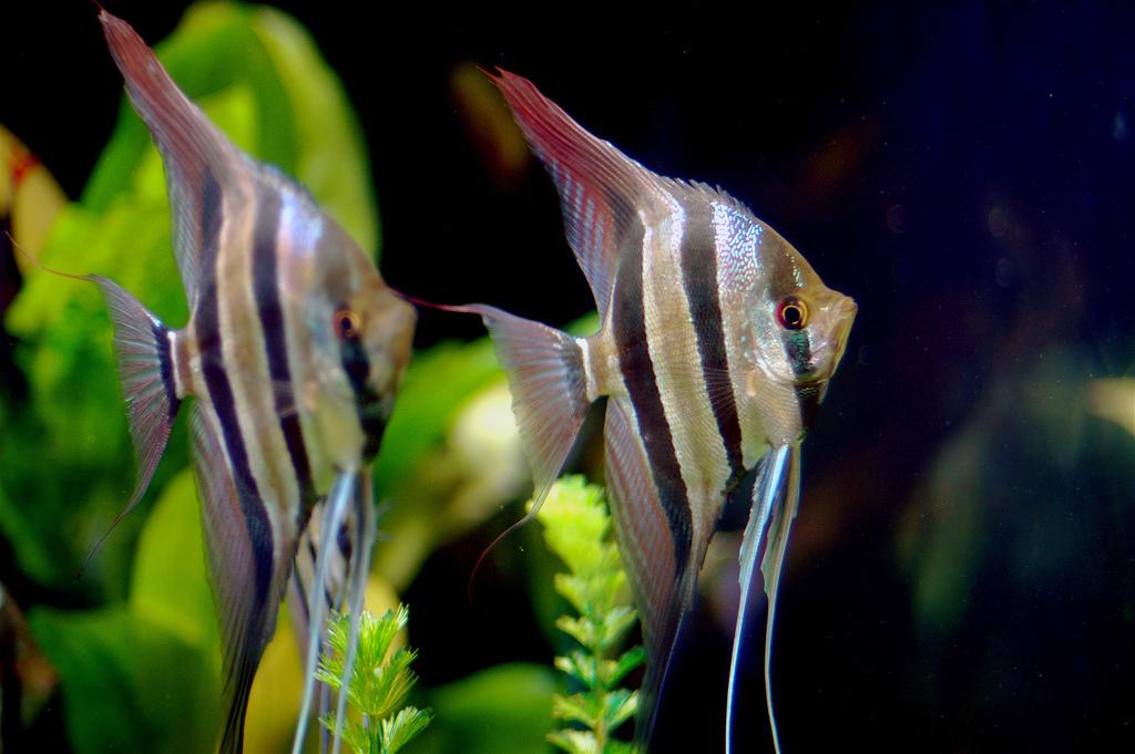 acquario per ciclidi pesce angelo
