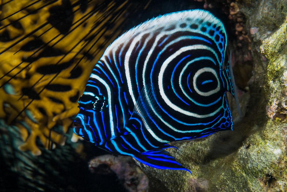 pesce angelo imperatore