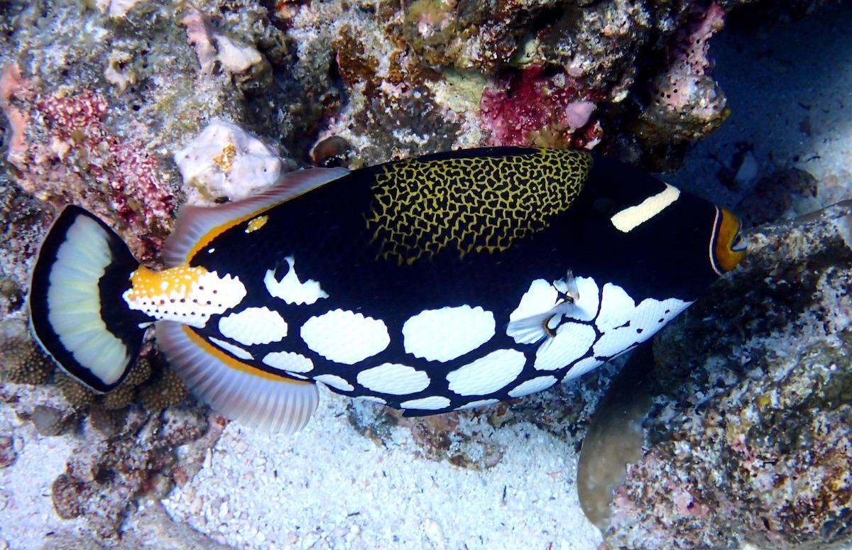 pesce balestra pagliaccio
