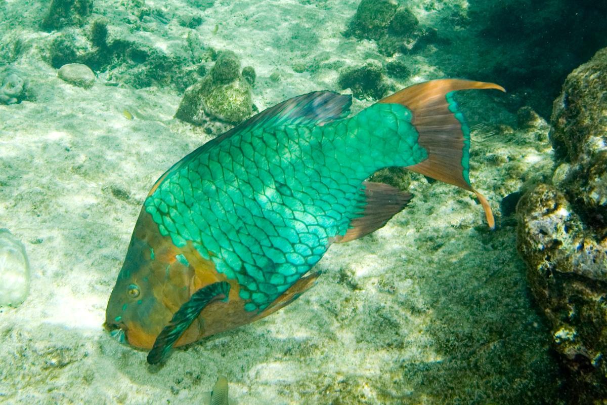 pesce pappagallo arcobaleno