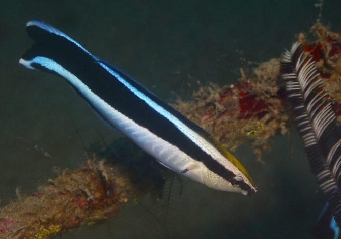 test dello specchio pesce pulitore
