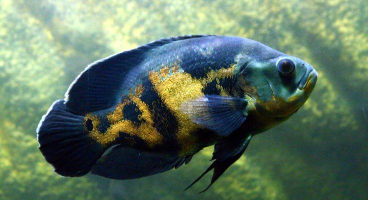 Piccoli pesci d 39 acqua dolce crescono dimensione dei for Pesci acqua fredda piccoli