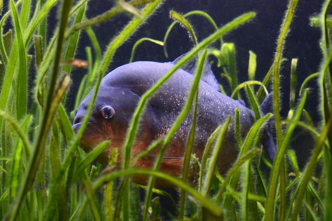 Pygocentrus nattereri piranha rosso