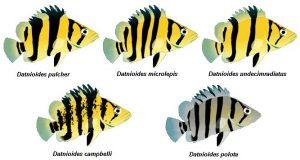 5 specie Specie Datnioides